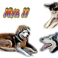 Adopt A Pet :: Mya II - Seminole, FL