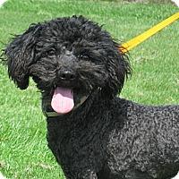 Adopt A Pet :: Layla - Tumwater, WA
