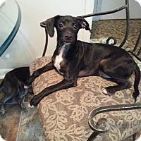 Adopt A Pet :: Stuey - Bardonia, NY