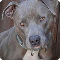 Adopt A Pet :: Jack Blue - Marina del Rey, CA