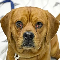 Adopt A Pet :: Red - Huntley, IL