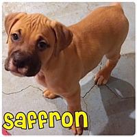 Adopt A Pet :: Saffron - Plainfield, IL