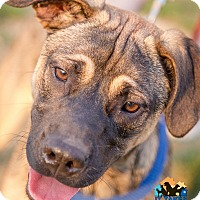 Adopt A Pet :: Boss - Evansville, IN