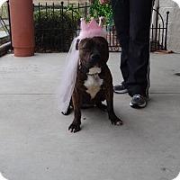 American Pit Bull Terrier Mix Dog for adoption in Dublin, Virginia - Darla