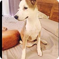 Adopt A Pet :: Sia - Alexandria, VA