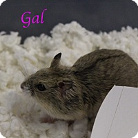 Hamster for adoption in Bradenton, Florida - Gal