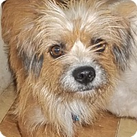 Norfolk Terrier Mix Dog for adoption in Memphis, Tennessee - Somer