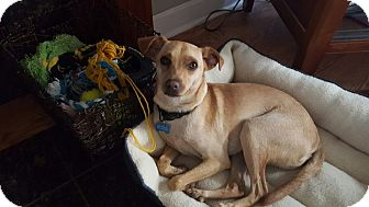 Chihuahua/Labrador Retriever Mix Puppy for adoption in Fort Collins, Colorado - Rex (FORT COLLINS)