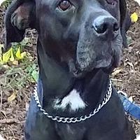 Adopt A Pet :: Angel - Newtown, PA
