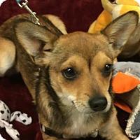 Adopt A Pet :: Foxy - Washington, DC