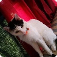 Domestic Shorthair Cat for adoption in Golsboro, North Carolina - OREO