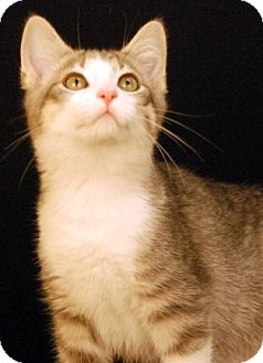 Domestic Shorthair Cat for adoption in Newland, North Carolina - Balsam