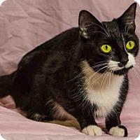 Domestic Mediumhair Cat for adoption in Salt Lake City, Utah - PRETTY LADY