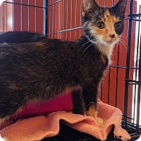 Adopt A Pet :: Patches (Foster) - Exton, PA