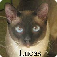 Siamese Cat for adoption in Warren, Pennsylvania - Lucas