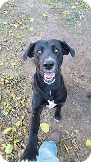 Labrador Retriever Mix Dog for adoption in Brattleboro, Vermont - Dude