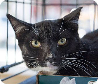 Domestic Shorthair Cat for adoption in New York, New York - Daario