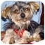 Photo 2 - Yorkie, Yorkshire Terrier Mix Dog for adoption in The Villages, Florida - Avery