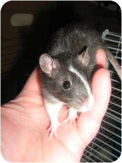Rat for adoption in Cincinnati, Ohio - Mira
