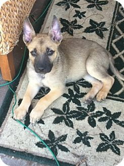 Boxer/Shepherd (Unknown Type) Mix Puppy for adoption in Mission Viejo, California - Molly