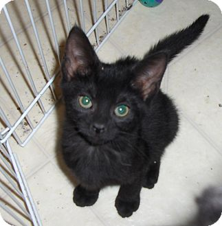 Domestic Shorthair Kitten for adoption in Richmond, Virginia - Browny