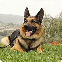 Adopt A Pet :: Harrison - Laguna Niguel, CA