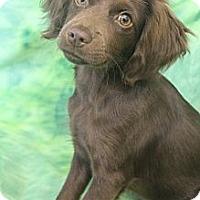 Adopt A Pet :: Willy Wonka - Wytheville, VA