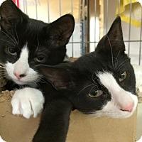 Adopt A Pet :: Rogue, Bengali - Raritan, NJ