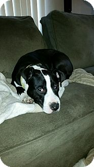 Pit Bull Terrier Mix Dog for adoption in New Kensington, Pennsylvania - Hope