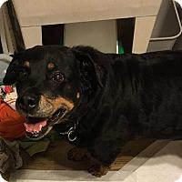 Rottweiler Dog for adoption in Springfield, Virginia - Jayda