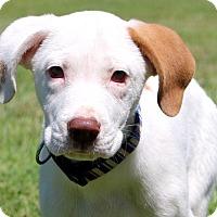 Adopt A Pet :: Bradley - Glastonbury, CT