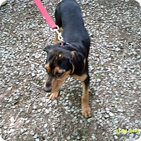 Black and Tan Coonhound Puppy for adoption in Evensville, Tennessee - Willow
