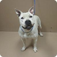 Adopt A Pet :: CRUMPET - Reno, NV