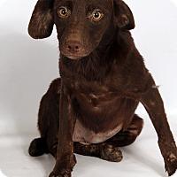 Adopt A Pet :: Charlotte Lab Aussie - St. Louis, MO