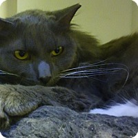 Domestic Longhair Cat for adoption in Dallas, Texas - LEONIDES