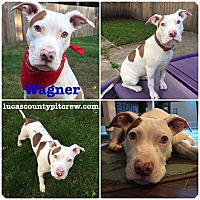 American Bulldog/American Staffordshire Terrier Mix Puppy for adoption in Toledo, Ohio - Wagner
