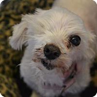 Maltese Dog for adoption in Akron, Ohio - Felicia