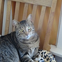 Domestic Shorthair Cat for adoption in Coos Bay, Oregon - Tao