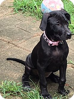 Labrador Retriever Mix Dog for adoption in Medina, Tennessee - Hannah