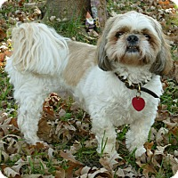 Shih Tzu Dog for adoption in Overland Park, Kansas - Keion