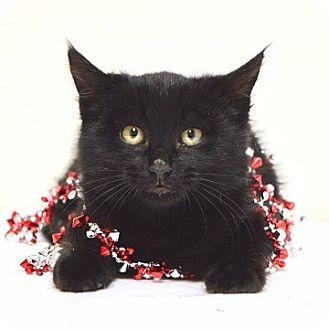 Domestic Shorthair Kitten for adoption in Dublin, California - Barley