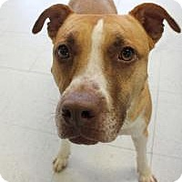 American Staffordshire Terrier Mix Dog for adoption in Yukon, Oklahoma - Monkey