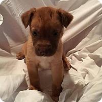 Adopt A Pet :: Hungary - Gilbertsville, PA