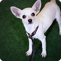 Adopt A Pet :: Livy Loo - Casa Grande, AZ