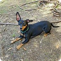 Adopt A Pet :: Cody - Summerville, SC