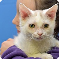 Domestic Shorthair Cat for adoption in Greenfield, Indiana - Eko