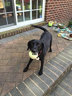 Labrador Retriever Mix Dog for adoption in Manhasset, New York - Luna