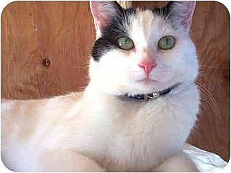 Domestic Mediumhair Cat for adoption in Vista, California - Penelope I