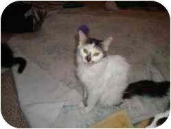 Domestic Mediumhair Cat for adoption in Strathmore, Alberta - Suzie