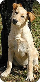 Labrador Retriever/Australian Shepherd Mix Dog for adoption in Greenville, Alabama - Dogs & Puppies